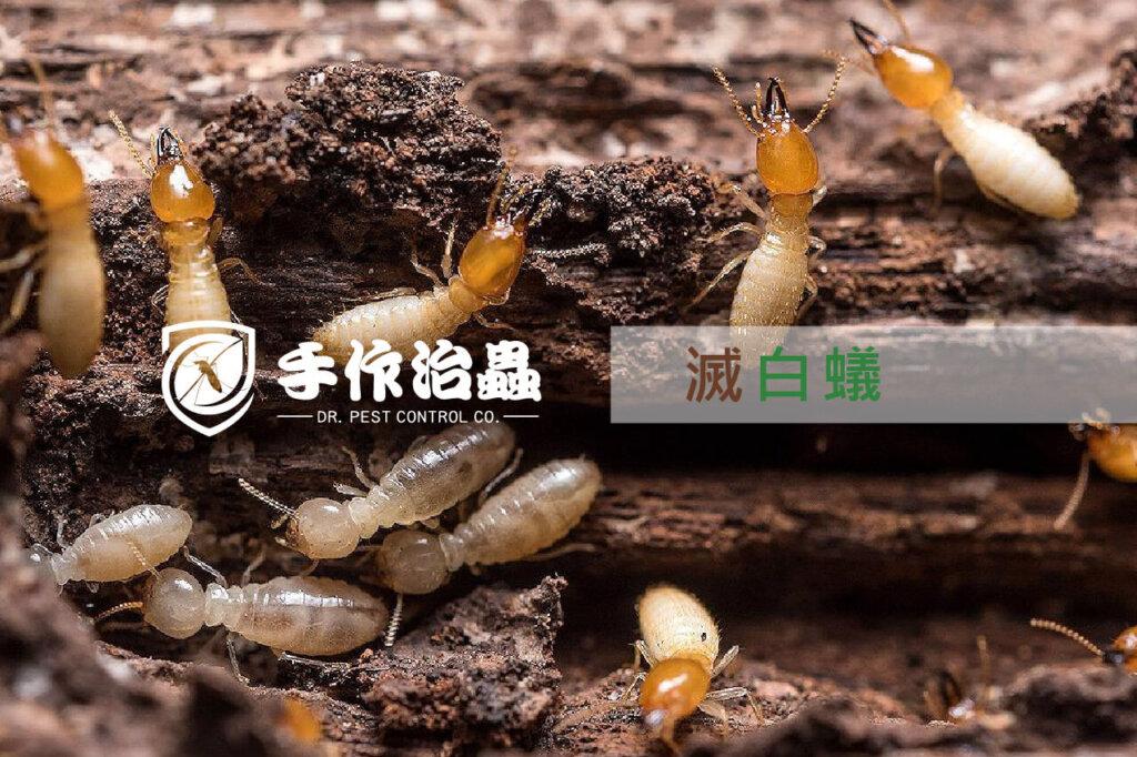 滅白蟻   滅白蟻服務 「手作治蟲滅白蟻公司」DR PEST CONTROL EXPERT