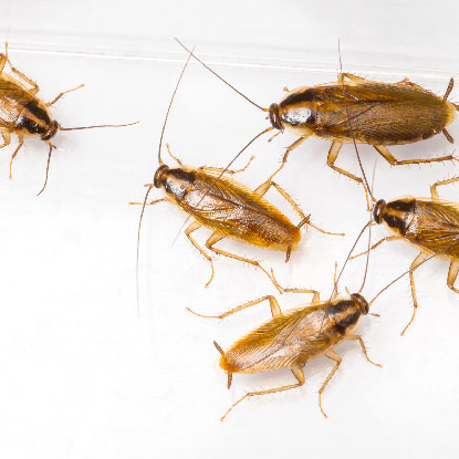 滅蟑螂, 天然滅曱甴方法-03