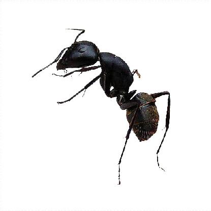 滅蟻, 天然滅蟻, 滅蟻公司 -木匠蟻