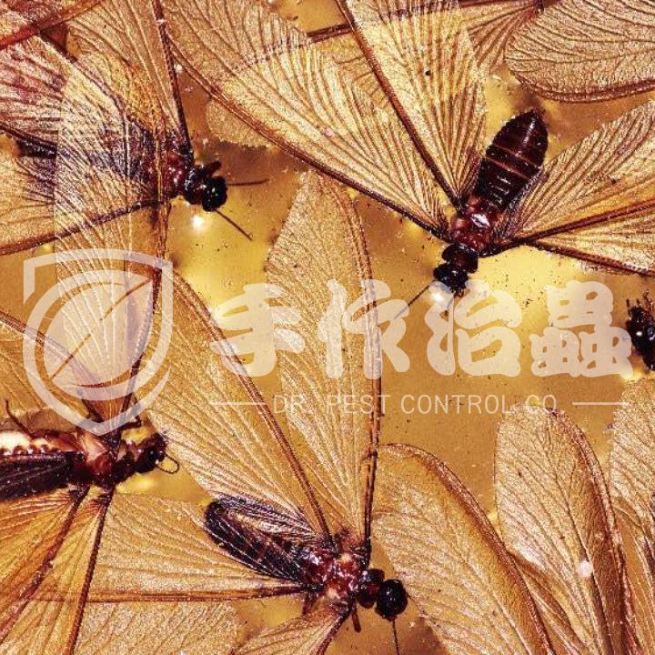 白蟻防治,預防白蟻,「手作治蟲Dr Pest」防治白蟻-12