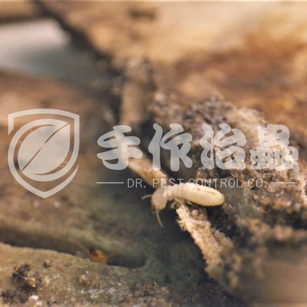 白蟻防治,預防白蟻,「手作治蟲Dr Pest」防治白蟻-3