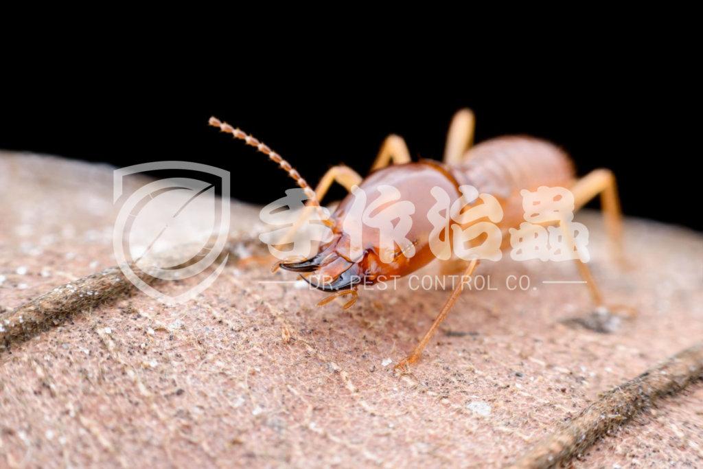 殺白蟻,消滅白蟻,「手作治蟲Dr Pest Control」除白蟻-03