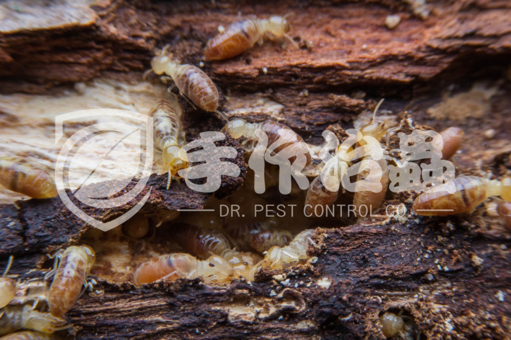 殺白蟻,消滅白蟻,「手作治蟲Dr Pest Control」除白蟻-01