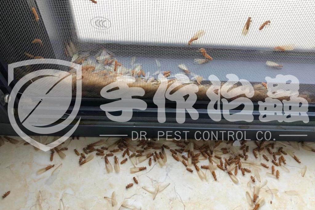 白蟻防治,預防白蟻,「手作治蟲Dr Pest」防治白蟻-14