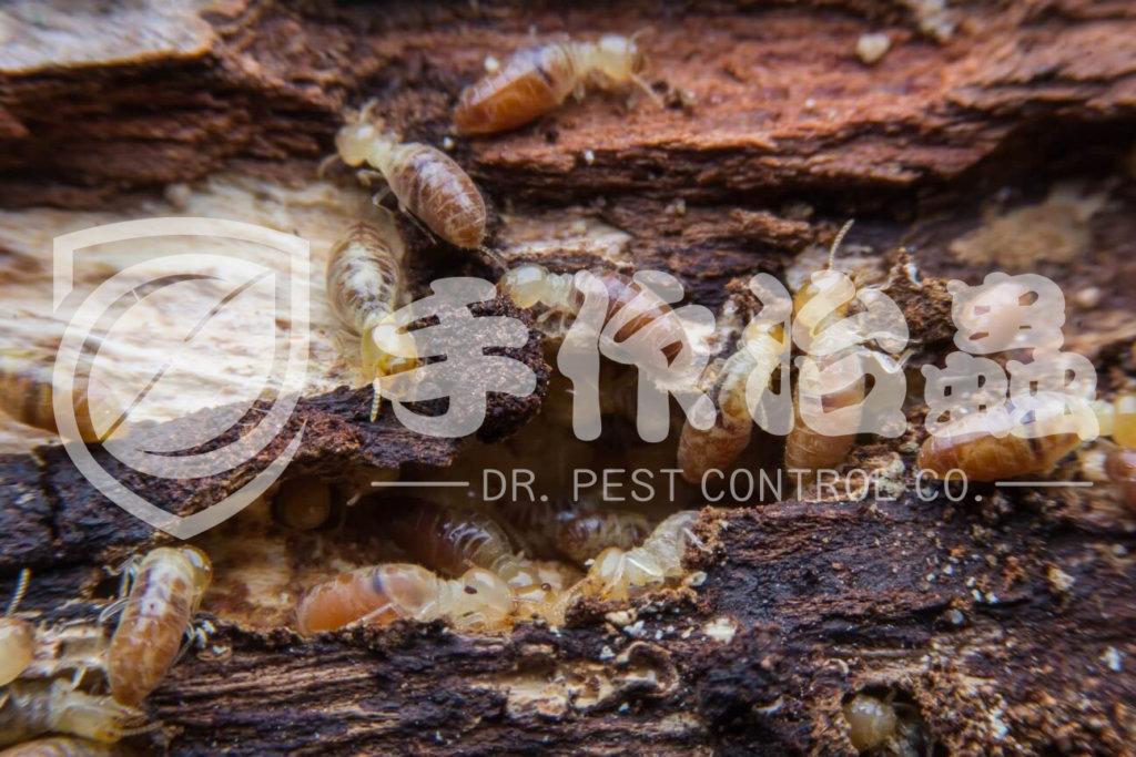 白蟻防治,預防白蟻,「手作治蟲Dr Pest」防治白蟻-13