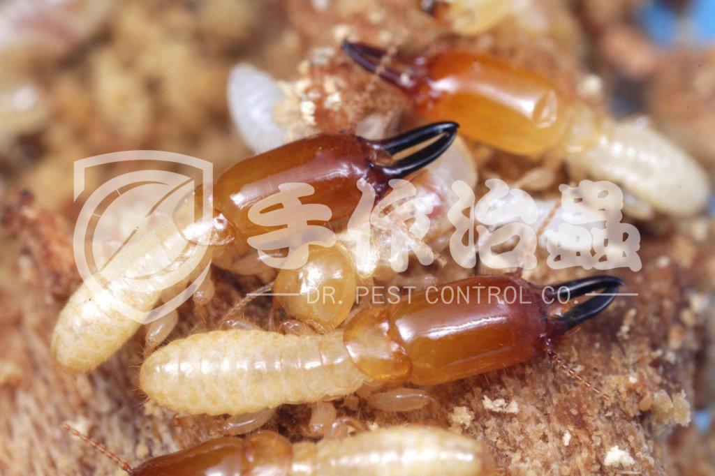殺白蟻,消滅白蟻,「手作治蟲Dr Pest Control」除白蟻-02