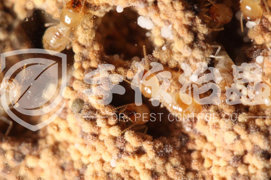 除白蟻方法,如何消滅白蟻,「手作治蟲」除白蟻公司-3