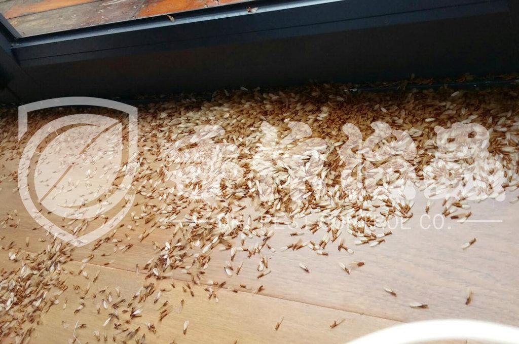 白蟻防治,預防白蟻,「手作治蟲Dr Pest」防治白蟻-16