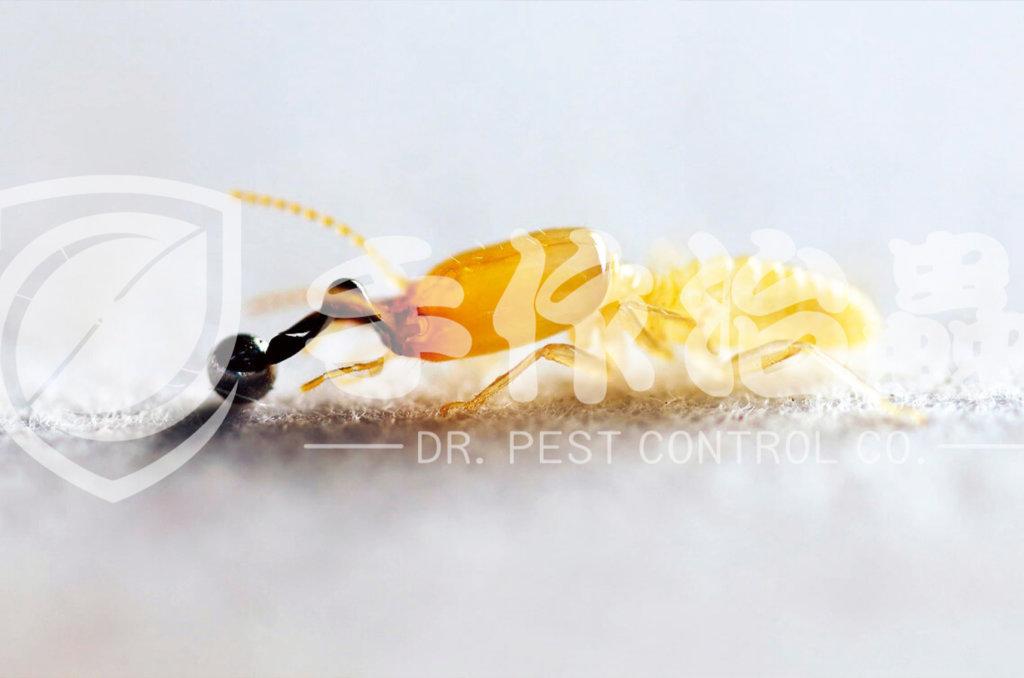 白蟻防治,預防白蟻,「手作治蟲Dr Pest」防治白蟻-17