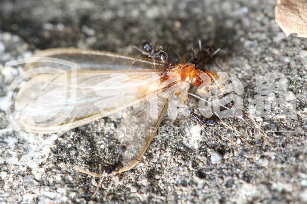 白蟻防治,預防白蟻,「手作治蟲Dr Pest」防治白蟻-15