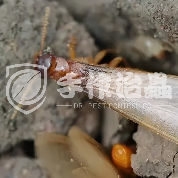 白蟻防治,預防白蟻,「手作治蟲Dr Pest」防治白蟻-11