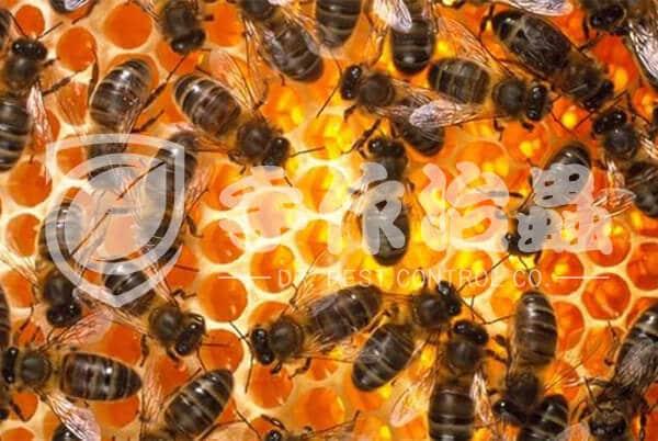蜜蜂,蜂巢,「手作治蟲」DR PEST COMPANY 蜂巢移除01