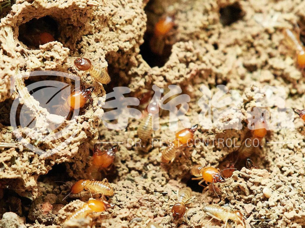 滅白蟻   滅白蟻服務 「手作治蟲滅白蟻公司」DR PEST CONTROL EXPERT-10