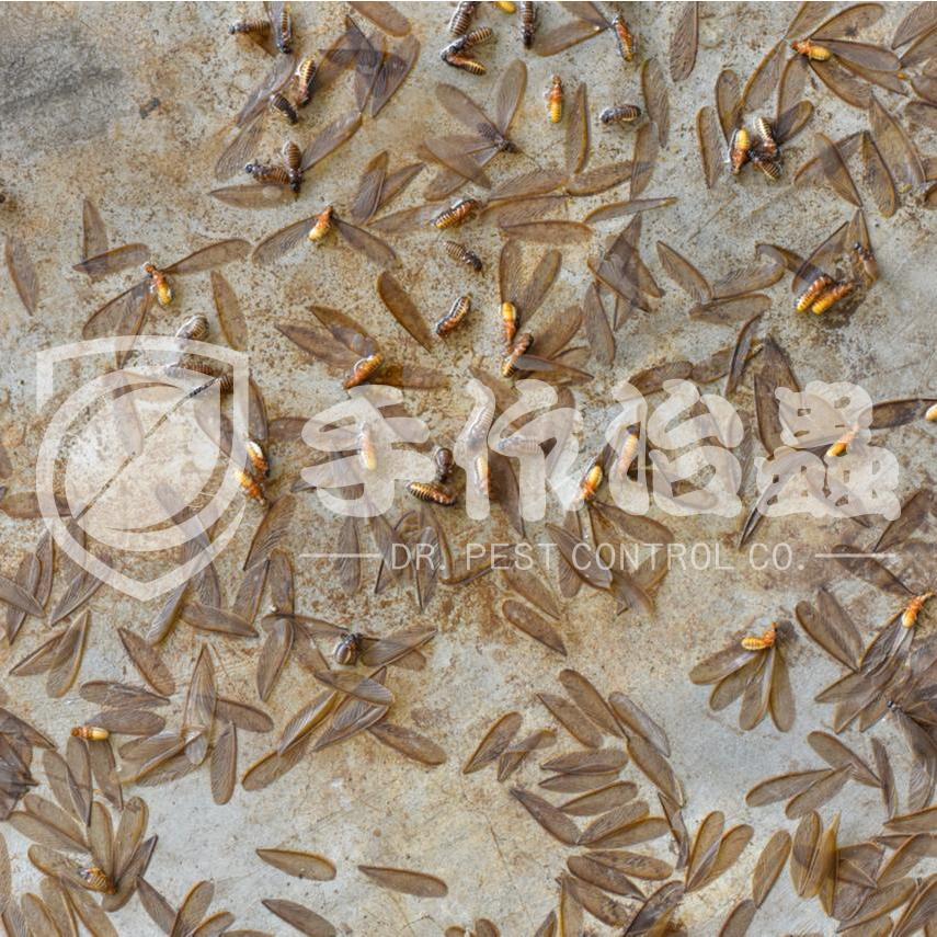白蟻防治,預防白蟻,「手作治蟲Dr Pest」防治白蟻-10