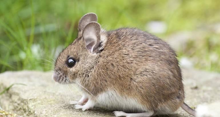 老鼠害怕什麼味道?