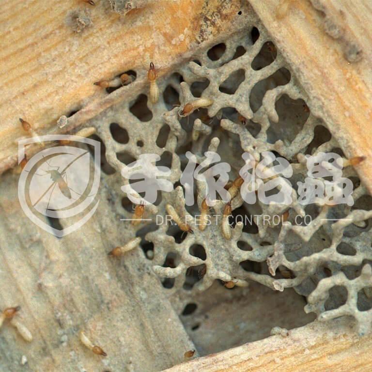 白蟻跡象,白蟻原因,「手作治蟲」Dr PEST Control Expert白蟻成因03