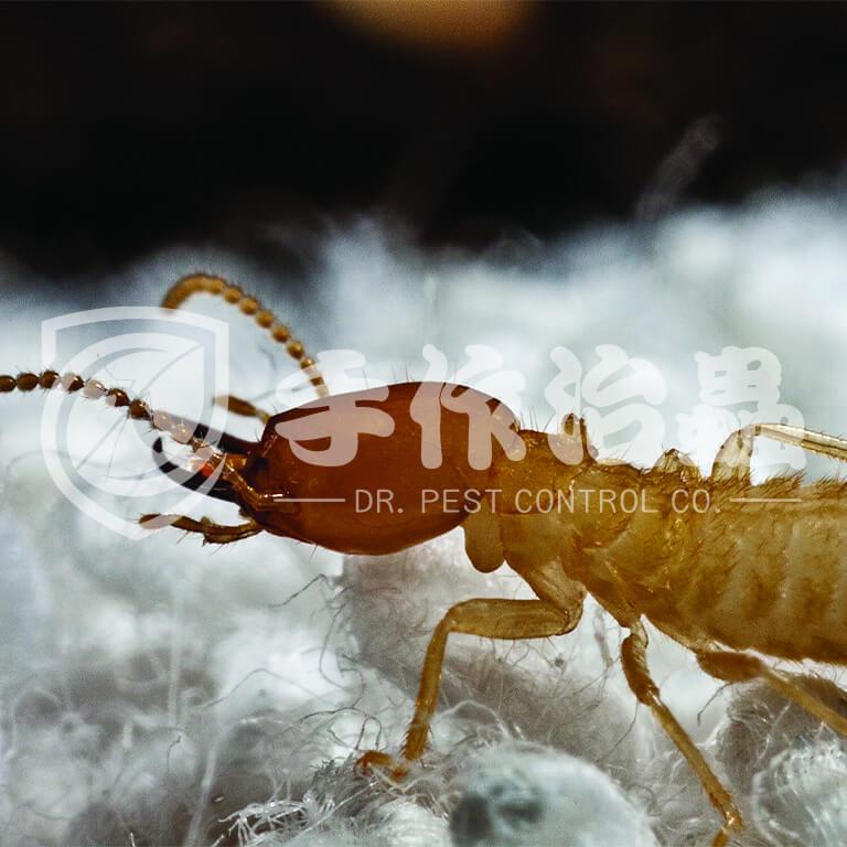 白蟻跡象,白蟻原因,「手作治蟲」Dr PEST Control Expert白蟻成因01